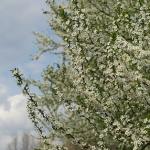 Cseresznyeszilva